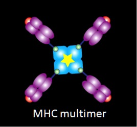 MHC Multimer Technology