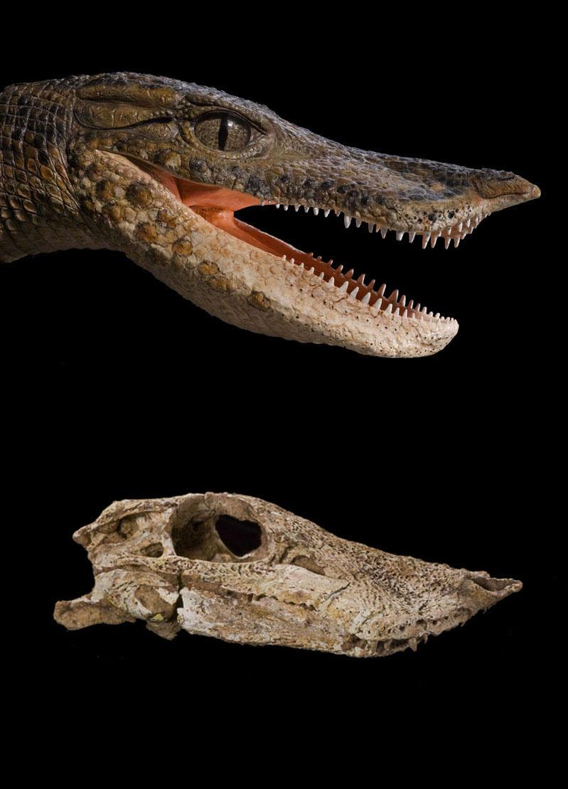 Anatosuchus (Duck Croc) | Paul Sereno - Paleontologist ...