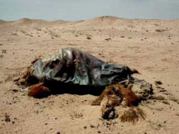Tanned by wind and sand, the skin of this Bactrian camel mummy looks like metal sheeting, draped over its ribcage.