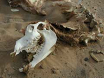 Caught in death as if taking its last gasp, a Bactrian camel skeleton is discovered by the team.