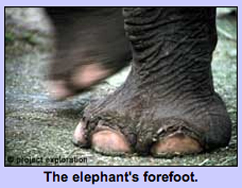 The elephant's forefoot