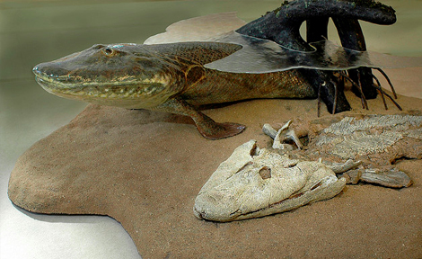 A model of a newly discovered species, Tiktaalik roseae