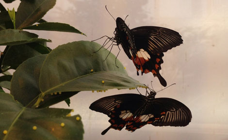 Butterfly courtship
