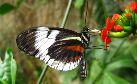 Heliconius cydno butterfly