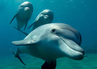 Three dolphins swim together in pursuit.
