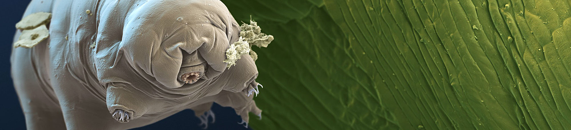 Image of microscopic organism, tardigrade