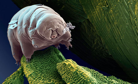 Microscopic image of tardigrade or water bear