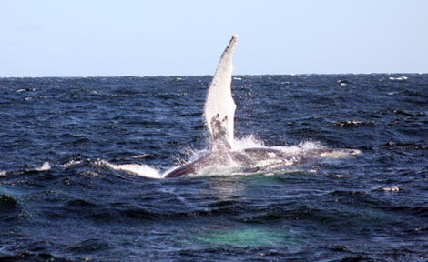 Humpback whale in Provincetown, Mass.