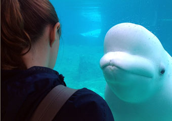 UChicago student views beluga whales in Mystic Aquarium